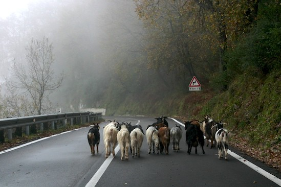 Goats on Road in Sicily