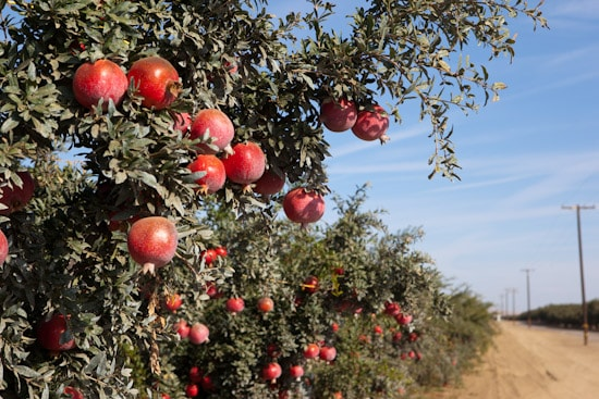Pomegranate Orchard in Central California