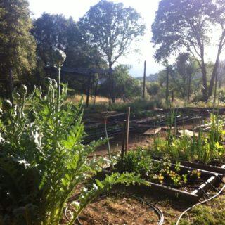 Artichokes in the Garden