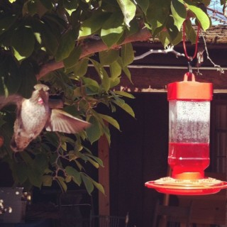 Silent Sunday: Hummingbird