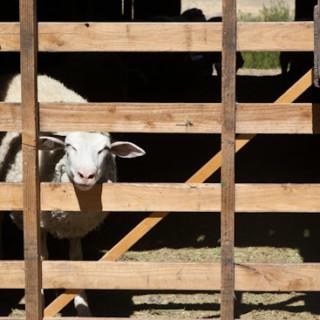 Sheep at Negranti Dairy