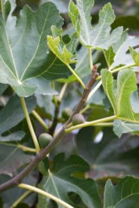 Baby Figs