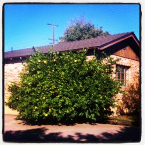 Meyer Lemon Tree