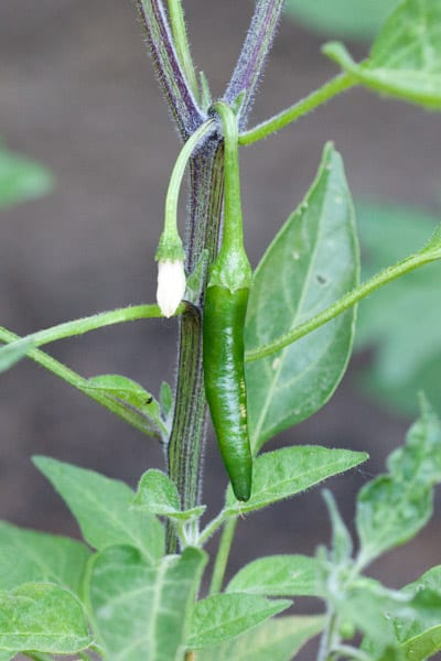 Our First Serrano Chile