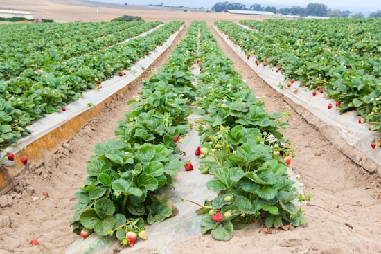 Shinta Kawahara Strawberry Farm in Watsonville