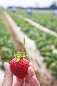 The Perfect California Strawberry
