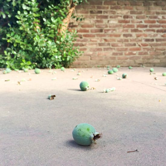 Feijoas or Pineapple Guavas on the Ground
