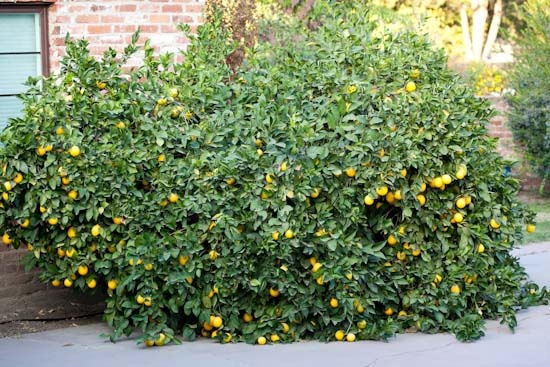 Monster Meyer Lemon Tree