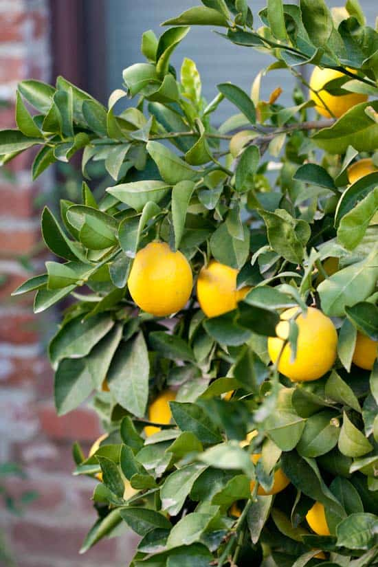 Meyer Lemons on Tree