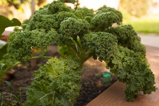 Curly Kale in the garden at Pinch My Salt
