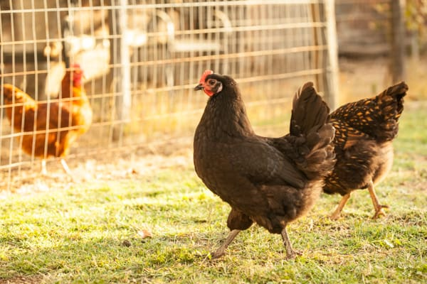 Elsie the Australorp | pinchmysalt.com