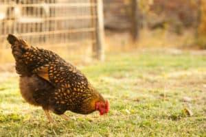 Goldie Hen the Golden Laced Wyandotte | pinchmysalt.com