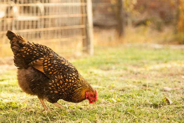 Goldie Hen the Golden Laced Wyandotte | pinchmysalt.com