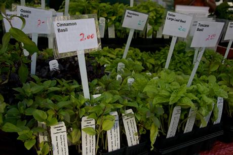 Greenmarket Basil