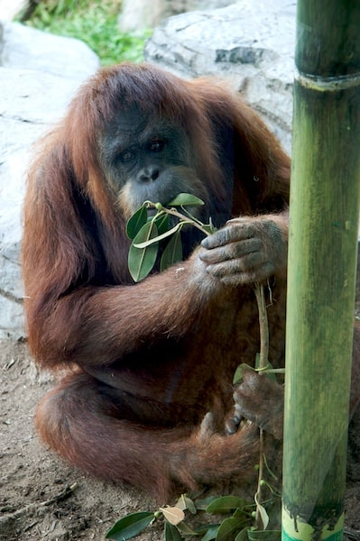Orangutan at the San Diego Zoo
