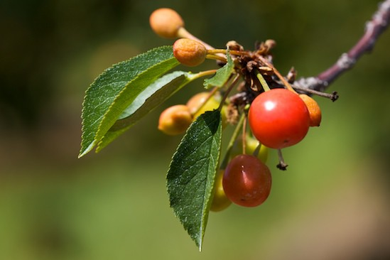 Tart Cherry Cherry on Tree