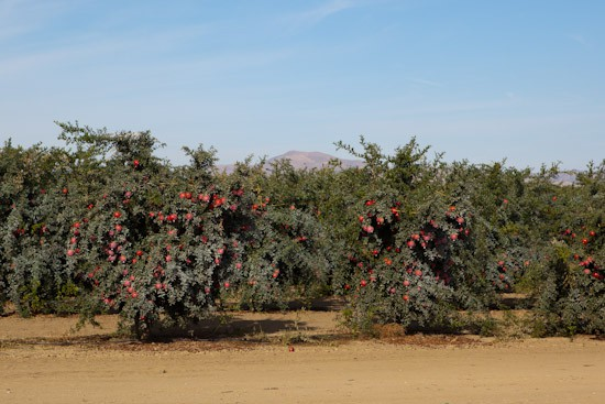 Organic Pomegranate Orchard with Foothills in the Distance
