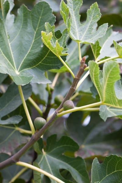 Baby figs in our new backyard