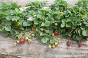 Red and Green Strawberries