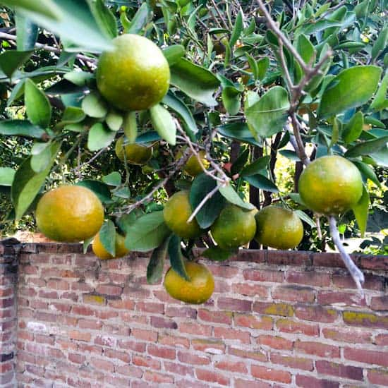 Tangerines Turning Orange