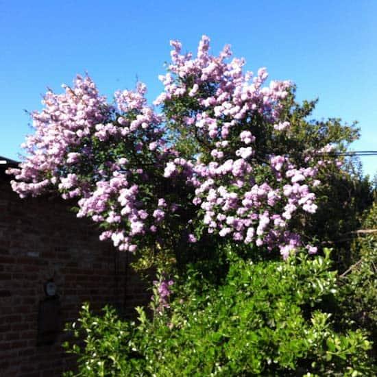 Surprise Lilac