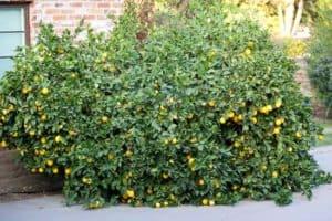 Monster Meyer Lemon Tree