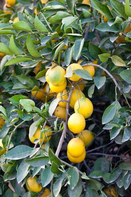 Even More Meyer Lemons
