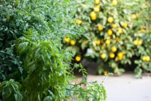 Basil, Tomatoes, and Meyer Lemons