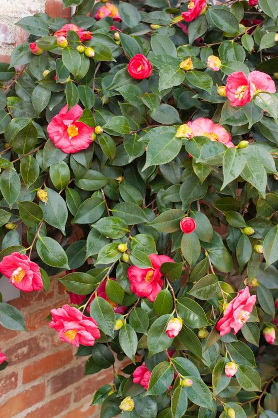 Camellias at Pinch My Salt
