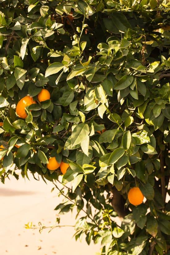 Meyer Lemon Tree at Pinch My Salt