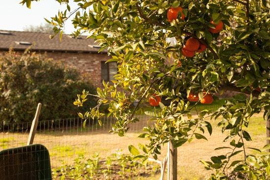 Tangerines in Garden at Pinch My Salt