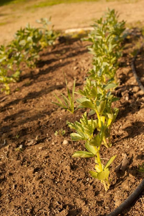 Fava Beans in Garden at Pinch My Salt