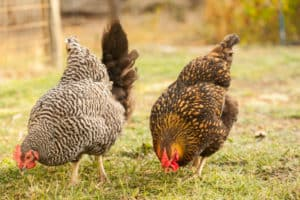 Flock of Backyard Chickens | pinchmysalt.com