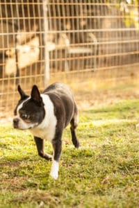 Smack the Boston Terrier | pinchmysalt.com